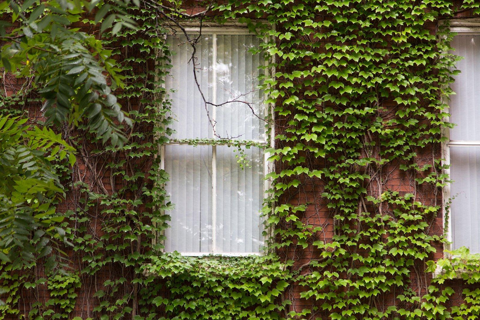 ivygrowingonbrick
