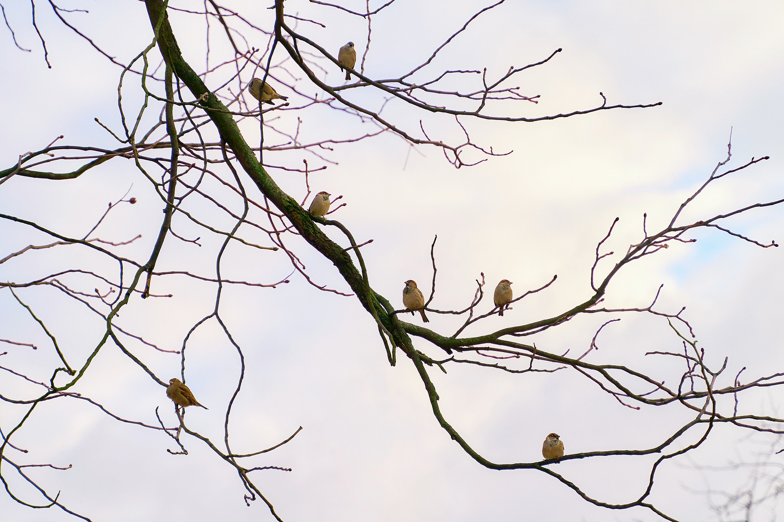 sparrows-social-distancing-on-branches